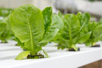 lettuce-nft